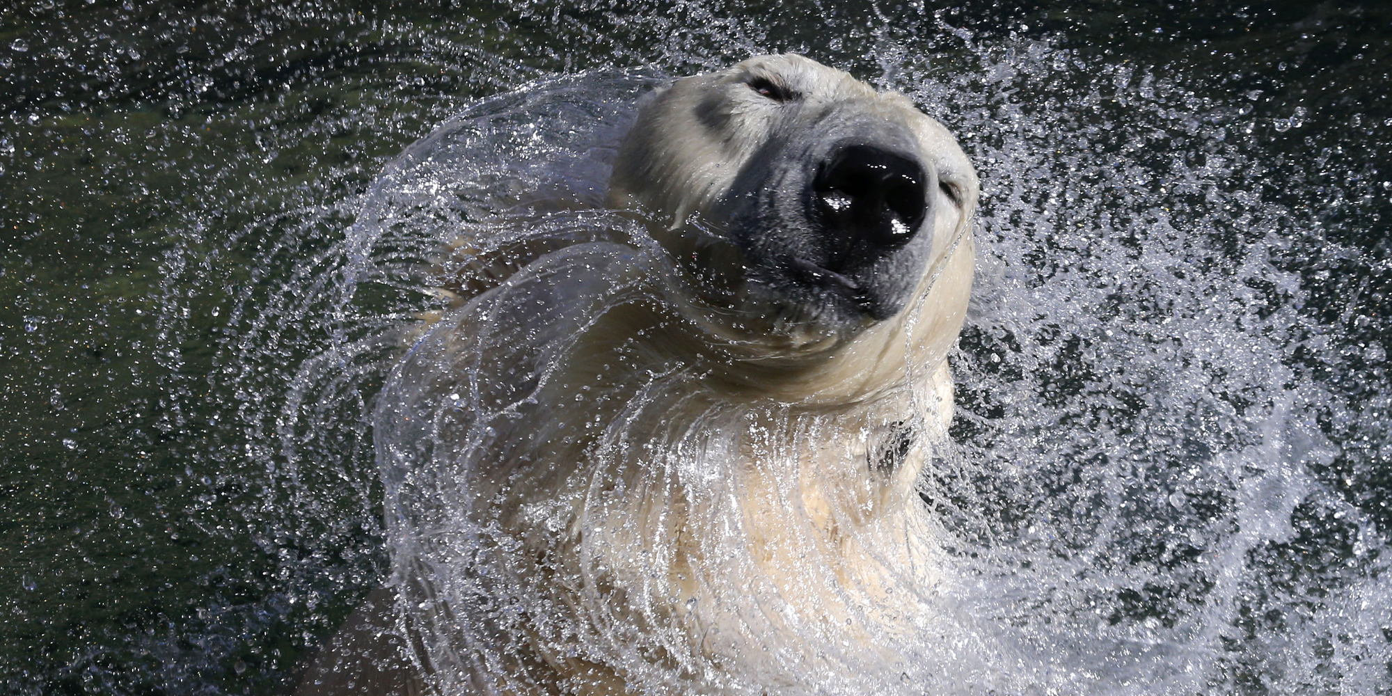 27 year old white polar bear Uslada shakes off water in her pool at the Leningrad Zoo in St. Petersburg, April 24, 2014.   REUTERS/Alexander Demianchuk (RUSSIA - Tags: ANIMALS) - RTR3MHK4